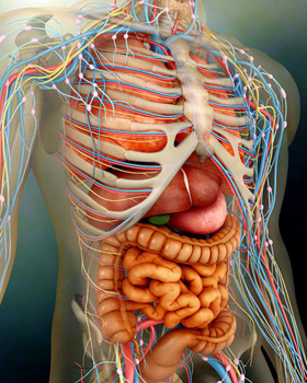 Perspective view of human body, whole organs and bones.